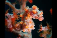 ©Henri_Eskenazi_Hippocampe_pygmée_Indonésie