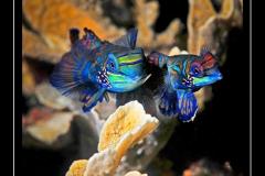 ©Henri_Eskenazi_Poissons_mandarins_Indonésie