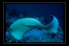 ©Henri_Eskenazi_Raie_pastenague_Maldives