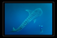 ©Henri_Eskenazi_Requin_baleine_Djibouti