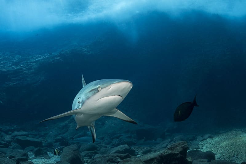 BD_080-Requin-gris-de-récif-Carcharhinus-wheeleri